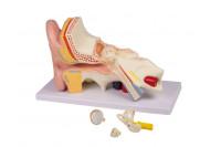 Anatomisch model oor 3x vergroot- 4delig e210