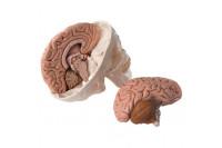 3b scientific schedel 8 delig met hersenen  1000049
