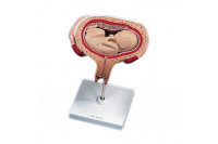 3b scientific anatomisch model uterus met foetus 5e maand l10/6