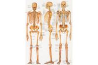 Wandplaat menselijk skelet 70x100cm al102