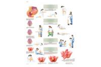 3b scientific anatomie poster geboorte 50x70cm vr1555l